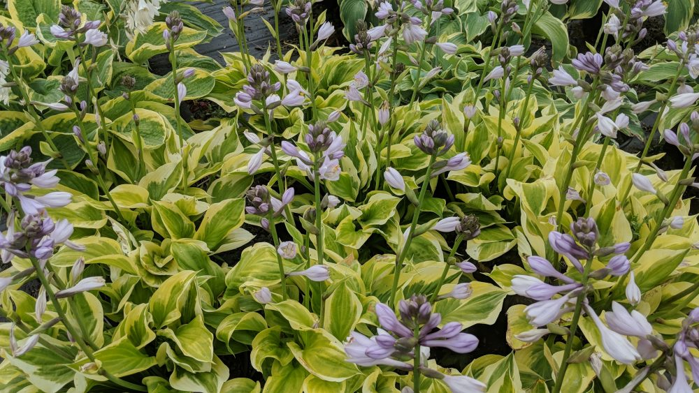 Hosta La Vista Baby Katos Nursery