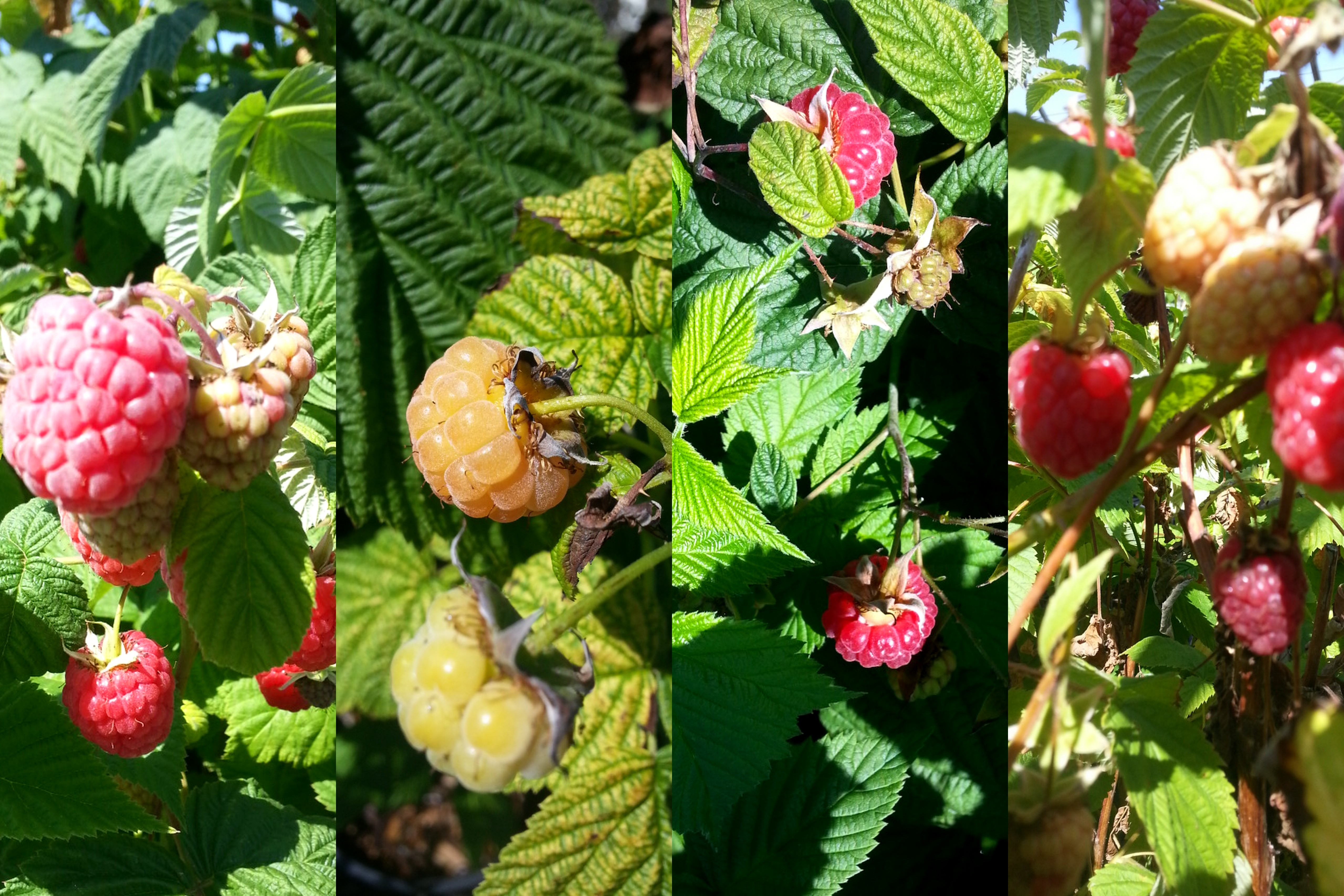 Natures Candy Raspberries