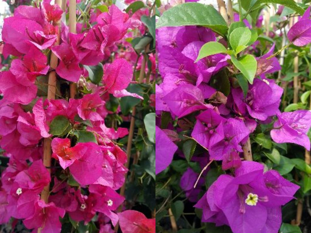 Bougainvillea Secrets