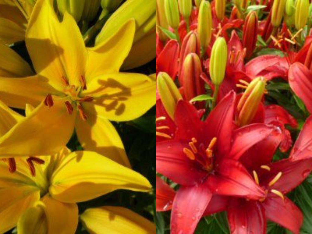 Tiny lilies pack a huge punch katos nursery tiny lilies pack a huge punch izmirmasajfo