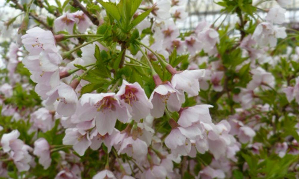Prunus Incisa Little Twist